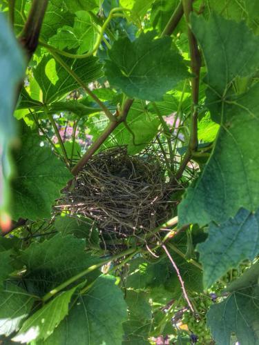 nid oiseaux gamay